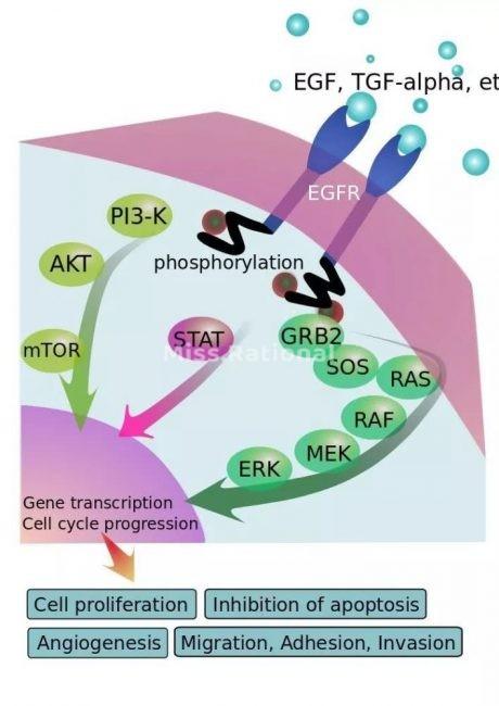 EGF结构