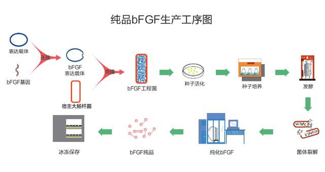 bFGF生产工艺