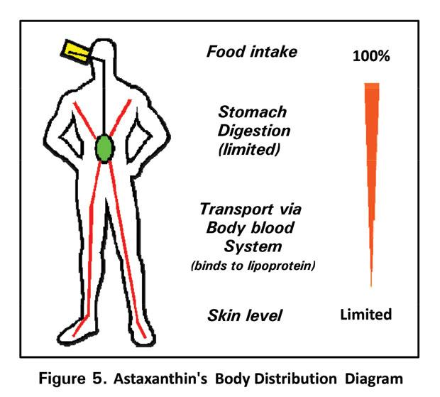虾青素人体吸收分部